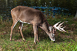 White-tailed Deer buck feeding on grass full body side view facing right