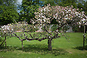 Espalier apple tree, Rousham House and Garden