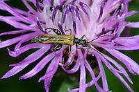 Gemeiner Scheinbockkäfer, Gemeiner Schenkelkäfer, Scheinbock, Blütenbesuch, Oedemera femorata, Oncomera femorata, Schenkelkäfer, Scheinbockkäfer, Schein-Bockkäfer, Scheinböcke, false blister beetles, pollen-feeding beetles, Oedemeridae