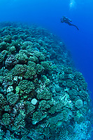 scuba diver and reef covered with hard corals, dive site Le Tombant, Manihi Atoll, Tuamotu Archipelago, French Polynesia, Pacific Ocean