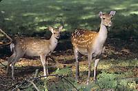 Sika, Sika-Hirsch, Sikahirsch, Sikawild, Sika-Wild, Weibchen, Mutter mit Kalb, Jungtier, Cervus nippon, sika deer