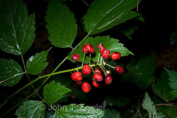Red Baneberry, Actaea rubra, Buttercup family