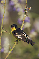 Lesser Goldfinch, Carduelis psaltria, black-backed male perched, Uvalde County, Hill Country, Texas, USA