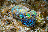 hummingbird bobtail squid, Euprymna berryi, aka Berry's bobtail squid, Moalboal, Cebu, Philippines, Indo-Pacific Ocean