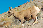 Bighorn Sheep, Female, Gardner Canyon, North Entrance, Yellowstone National Park, Wyoming