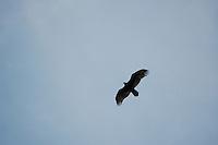 Vulture above Miflin Creek near Foley Alabama spring of 2008.