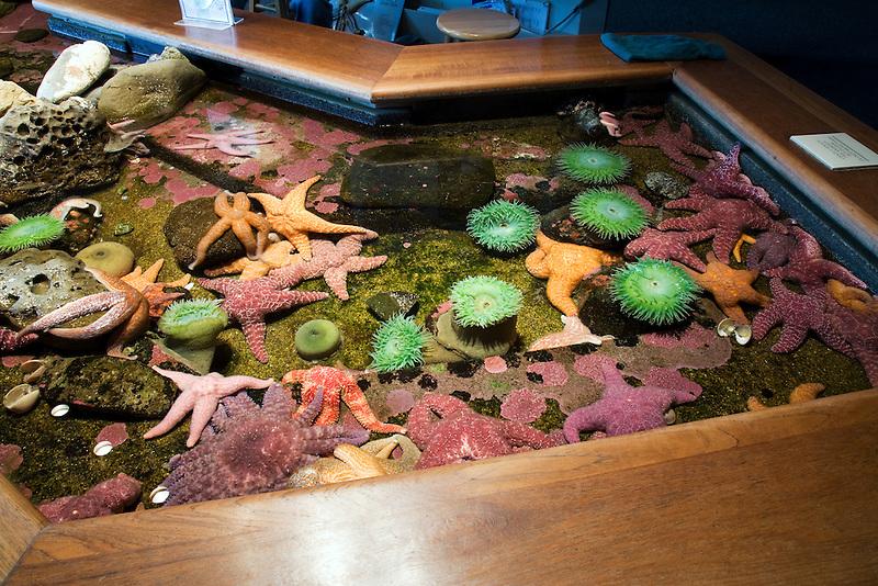 Anemones and starfish at Oregon Coast Aquarium. Newport, Oregon