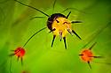 Close up of defensive spines on caterpillar of Indian Moon Moth / Indian Luna Moth {Actias selen}. Captive website