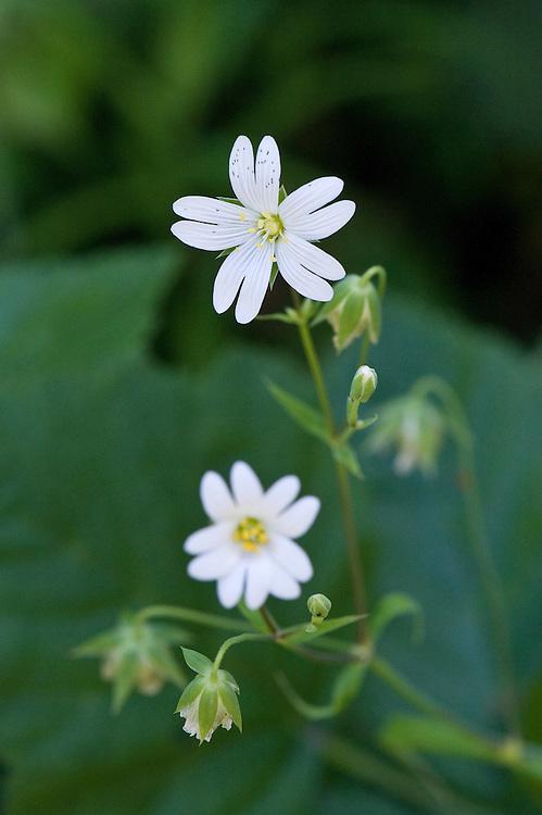 Greater stitchwort (Stellaria holostea), Surrey, early June.