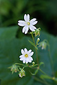 Greater stitchwort (Stellaria holostea), Surrey, early June.