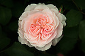Rosa 'Our Beth', late May. A pale pink modern shrub rose introduced by Peter Beales in 2006 and named in memory of Beth Loasby, an employee.
