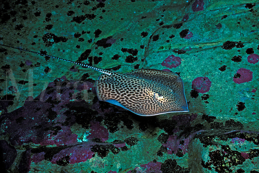 Honeycomb whiprays, Himantura uarnak, are often found in sandy areas where they will bury themselves so that only their eyes and tail are visible.  Australia.<br />