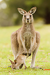 Eastern Grey Kangaroo (Macropus giganteus) mother with joey hanging out of pouch to graze, Jervis Bay, New South Wales, Australia