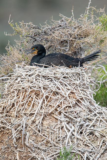 Double-crested Cormorant(Phalacrocorax auritus) incubating nest. Lake County, Oregon. May.