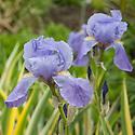 Iris pallida 'Variegata', late May.