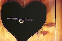 Dwergvleermuis (Pipistrellus pipistrellus) in vlucht