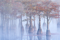 A small grove of pond cypress emerge from the morning fog just after sunrise, dressed in fall color.<br />