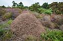 Wood Ant {Formica rufa} nest on heathland. Dorset, UK. August.
