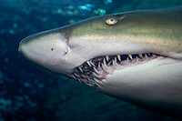 Sand Tiger Shark ( Carcharias taurus ), also known as a Grey Nurse Shark or a Ragged-tooth Shark.    South Africa