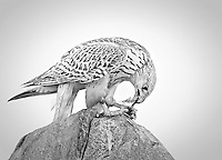 Falco rusticolos<br /> <br /> Gyrfalcon with remains of a kill