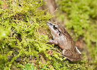 Pastures rainfrog (Cutín de potrero), Pristimantis achatinus, on a moss-covered branch in Tandayapa Valley, Ecuador