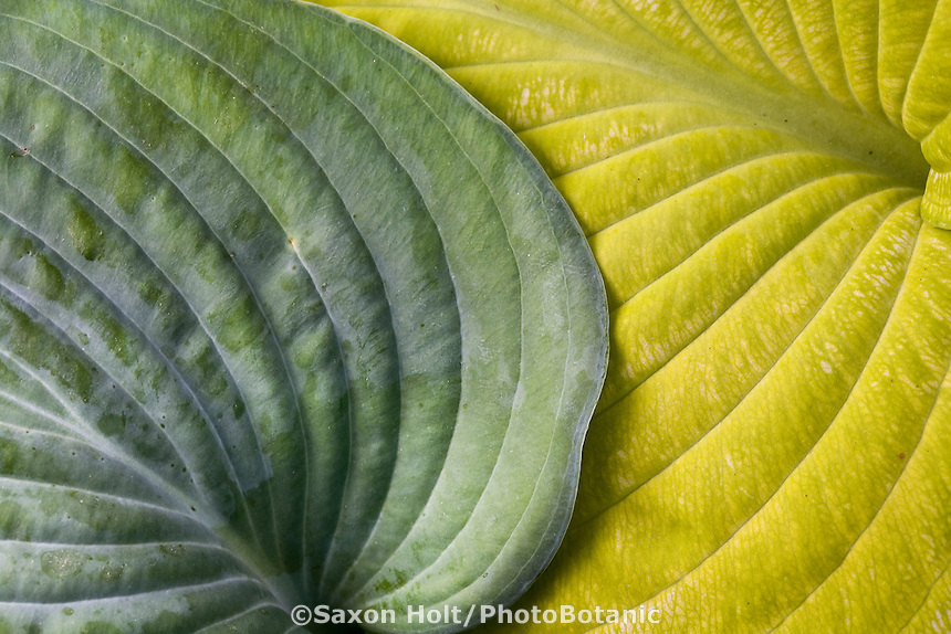 Hosta (Tardiana Group) 'Blue Danube'  (left) with Hosta 'Aztec Treasure'  (right); gold and silver foliage