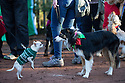 """18/12/16<br /> <br /> Chihuahua Hudson, and Collie Lilly, <br /> <br /> Close to 800 dogs, many of them dressed up in festive garb, have visited their very own Santa Paws in a special dog-only Christmas grotto held in Sherwood Forest in Nottinghamshire this weekend.<br /> The two-day event, which was organised by park rangers working for Nottinghamshire County Council, has been running for three years.<br /> Ranger Graeme Turner, who originally came up with the idea for a doggy-themed Santa's Grotto said this year has been the best so far.<br /> """"The queue is huge, it snakes back all the way round the visitor's centre,"""" he said. """"All the dogs are being very well behaved, I guess they don't want to get onto Santa Paw's naughty list this close to Christmas!""""<br /> All canine visitors to the grotto got a special doggy bag full of treats and money raised from the event will go to Jerry Green Dog Rescue charity.<br /> <br /> All Rights Reserved F Stop Press Ltd. (0)1773 550665   www.fstoppress.com"""