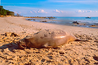 dead dugong on beach, Dugong dugon, Brisbane, Queensland, Australia