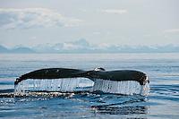 Humpback whale (Megaptera novaeangliae) tail  Alaska.  Summer.