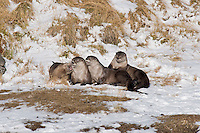 Northern River Otter (Lontra canadensis) play along river bank.  Western U.S., winter.