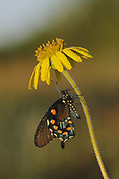 Pipevine Swallowtail (Battus philenor),adult in dew on flower, Fennessey Ranch, Refugio, Coastal Bend, Texas, USA