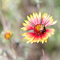 Bee on Indian Blanket wildflower in Texas