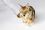 Adult coyote (Canis latrans) walking through deep winter snow. Yellowstone National Park, Wyoming, USA. January.