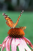 Butterflies: Silver-bordered fritillary & Metalmark  butterfly on Echinacea purpurea (Purple Coneflower, American native wildflower) closeup