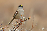 Adult Golden-crowned Sparrow (Zonotrichia atricapilla). Seward Peninsula, Alaska. May.