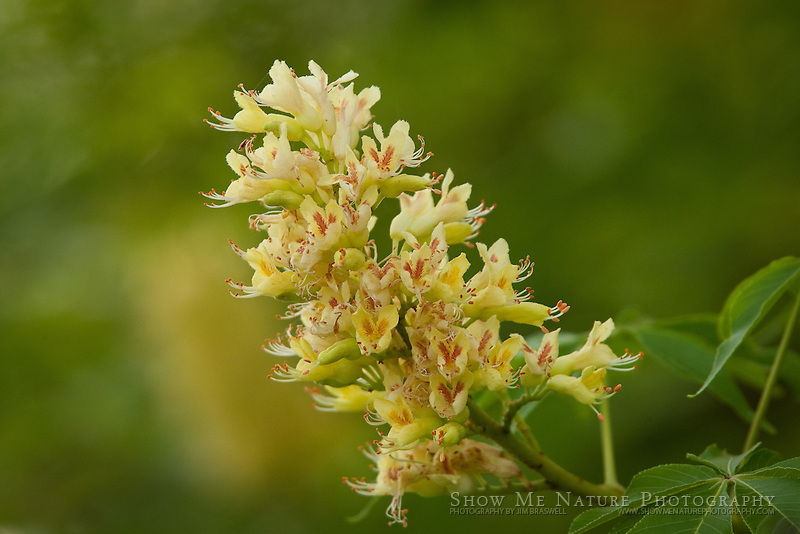 Ohio Buckeye in bloom
