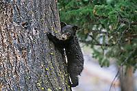 Black Bear (Ursus Americanus) cub climbing tree.