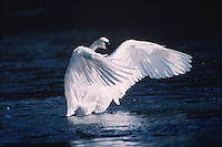 A Trumpeter swan (Cygnus buccinator) exercises its wings. Wyoming.