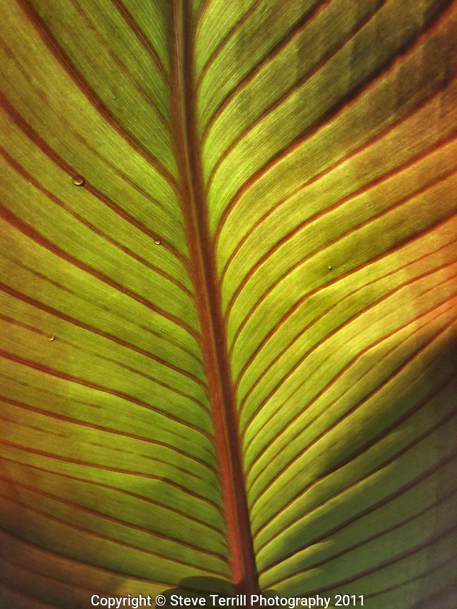 Underside of canna lily