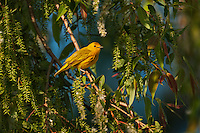 Yellow Warbler (Dendroica petechia) following spring migration rests in black willow tree in a Carolinian forest along Lake Erie shorline. Great Lakes, North America.