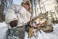 Ion Maxsimovic holds up the head of a wolf he has just shot.  An explosion of the wolf population has had a devastating impact on the reindeer herds that are the lifeblood for the indigenous Evenki people of the Siberian state of Sakha (Yakutia). In 2012 it was estimated that between 12,000 - 16,000 reindeer were lost to wolf attacks, at a cost of around 15,000 rubles (153.00 GBP) per animal. In response the local authorities introduced a three month hunt with a bounty to encourage hunters to target wolves with the aim of reducing their numbers from 3,500 to 500. Hunters earn 400 USD (280 GBP) per proven kill, plus a further 400 USD (280 GBP) selling the skin to the fur trade. Ion Maksimovic, the region's most celebrated wolf hunter, killed 23 wolves in 2014, more than any other hunter, and in doing so won a prize of 300,000 roubles (3,060 GBP) and a snowmobile.