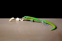 A Madagascar Gold Dust Day Gecko enjoys a piece of fruit, O'ahu.