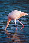 Flamingo in denile, Patagonia, Chile, South America,.