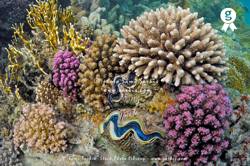 Garden of Corals and Giant Clams (Tridacna Maxima), Red Sea, Egypt (Licence this image exclusively with Getty: http://www.gettyimages.com/detail/81867363 )