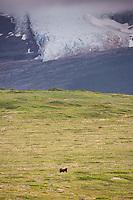 Brown bear on cape douglas, glacier in the aleutian range in the distance, Katmai National Park, Alaska Peninsula, southwest Alaska.
