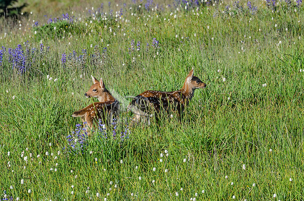 Columbian black-tailed deer (Odocoileus hemionus columbianus) fawns in subalpine meadow covered with wildflowers. Pacific Northwest.  Summer.