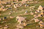 Przewalski's wild horses or Takhi camouflaged in rocky landscape, Gorkhi-Terelj National Park, Mongolia