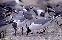 1Z02-014x  Laughing Gull - eating horseshoe crab eggs - Larus atricilla