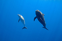 a bottlenose dolphin, Tursiops truncatus, with a short-finned pilot whale, Globicephala macrorhynchus, north Kona Coast, Hawaii, U.S.A. ( Central Pacific Ocean )