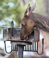 An elk licks an unused grill, perhaps nabbing salt from the previous year's tourist activity.